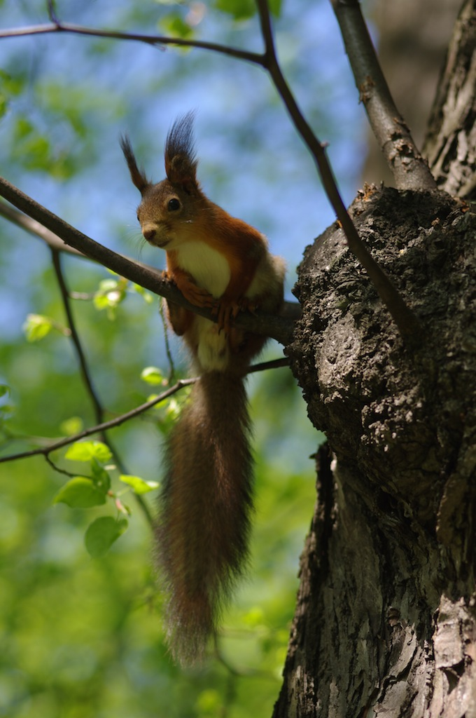 Sciurus vulgaris. Red squirrel. Orav.