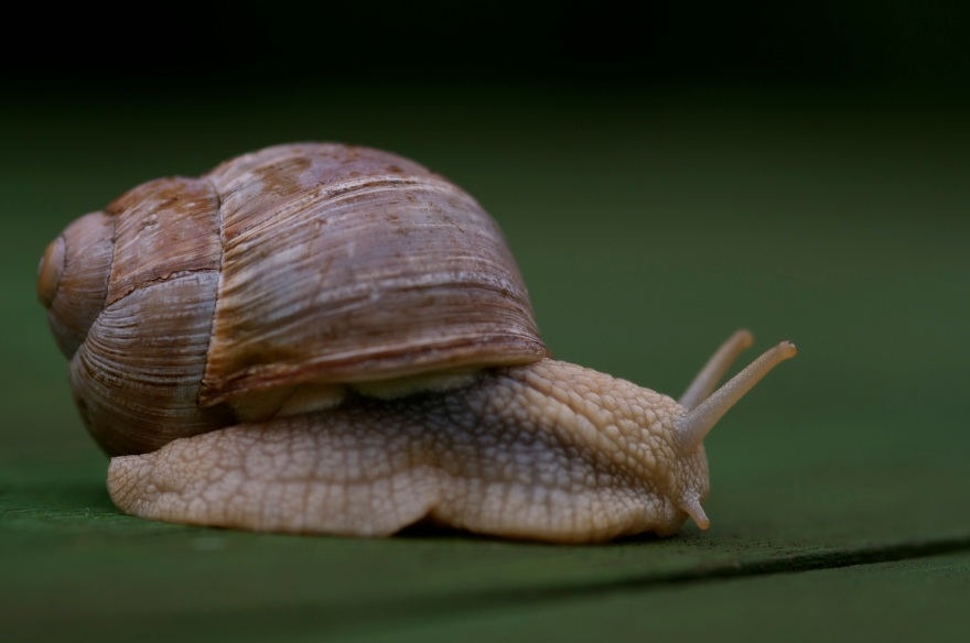 Burgundy snail, Roman snail, edible snail. Helix pomatia. L'escargot de Bourgogne. Виноградная улитка. Viinimäkikotilo. Viinamäe tigu.