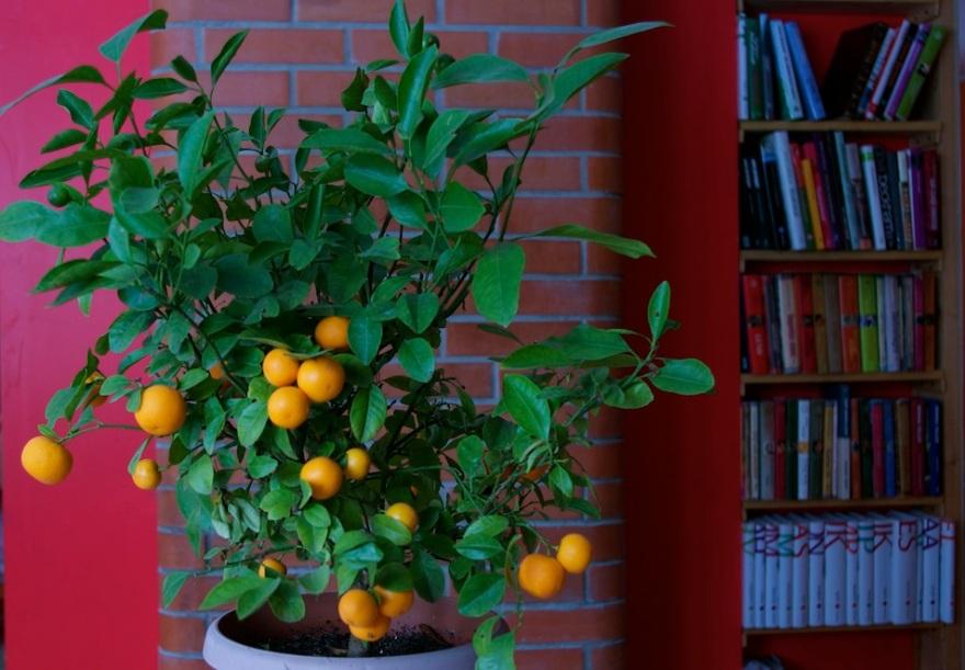Kumquat, cumquat, kääbusapelsin.