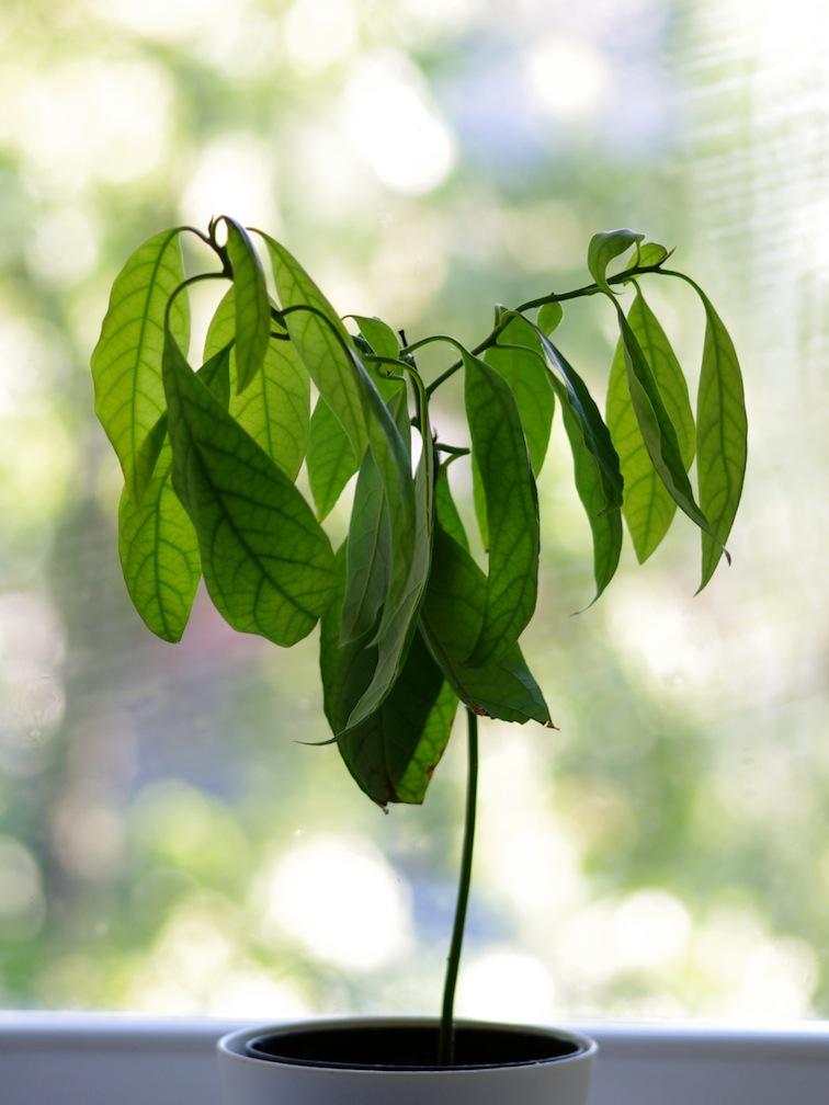 Heart shaped avocado tree