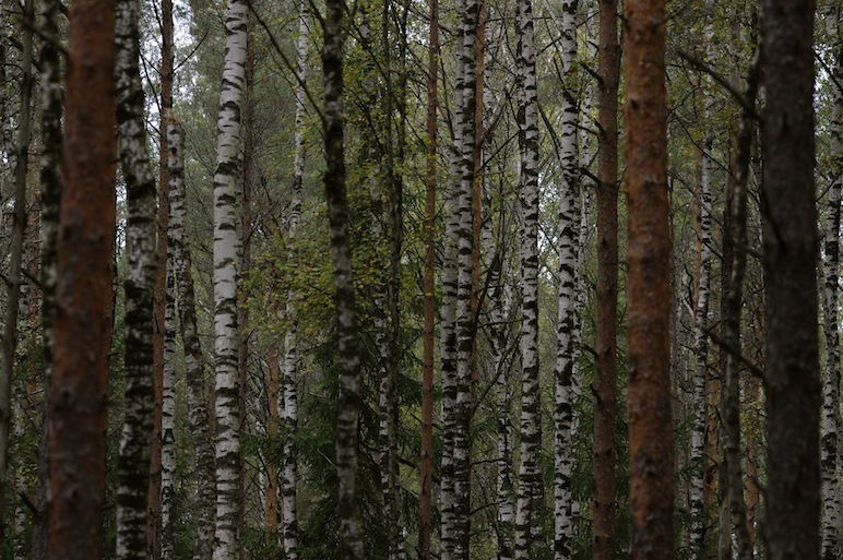 Pines and birches