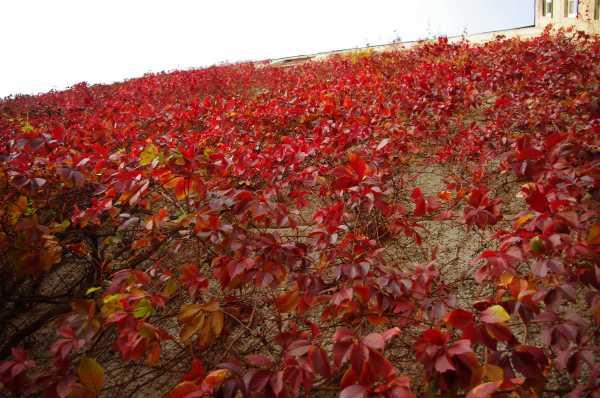 Harilik metsviinapuu Parthenocissus quinquefolia Девичий виноград пятилисточковый