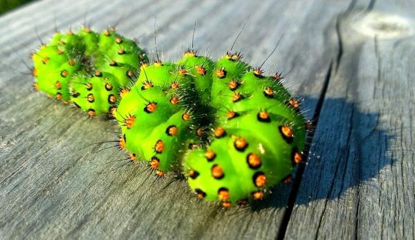 Small Emperor Moth caterpillar, kevadpaabusilma röövik