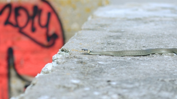 Grass snake and graffiti