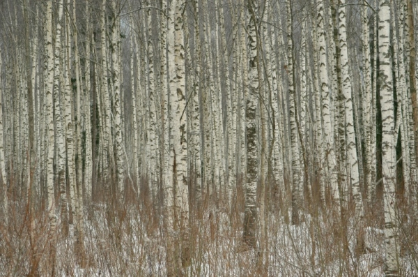 Pattern with birches