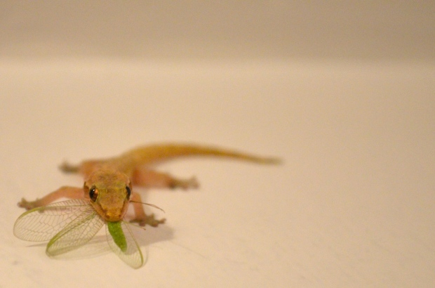 Gecko eating a fly