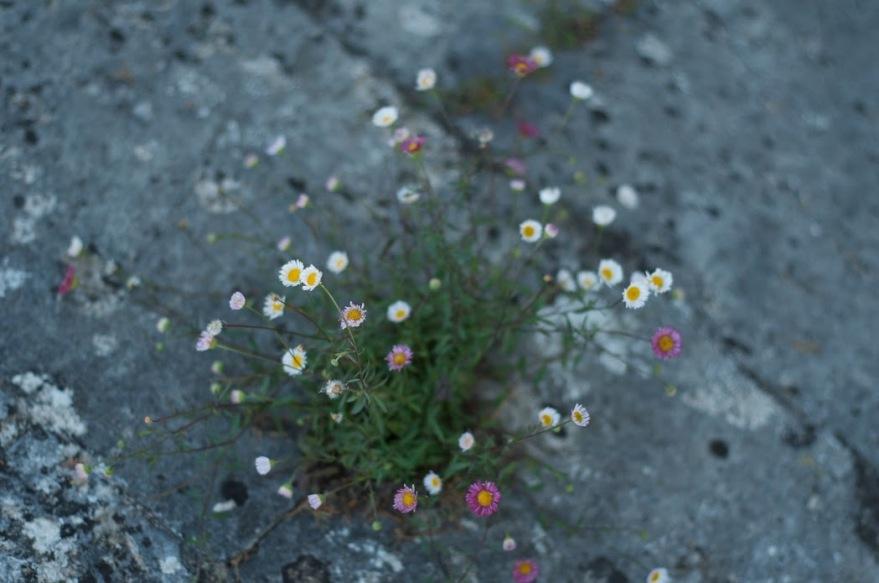 stoneflowers